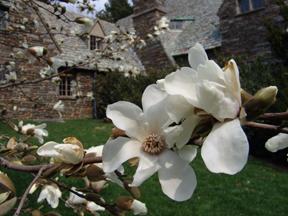 Magnolia salicfolia taken by Rhoda Maurer