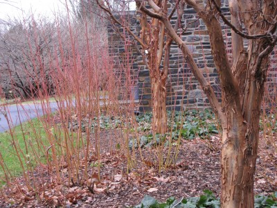 Harmony of color and texture with Cornus sericea 'Cardinal' and Acer griseum (paperbark maple) in front of Sharples Dining Hall.  photo credit: Miriam Pinsker