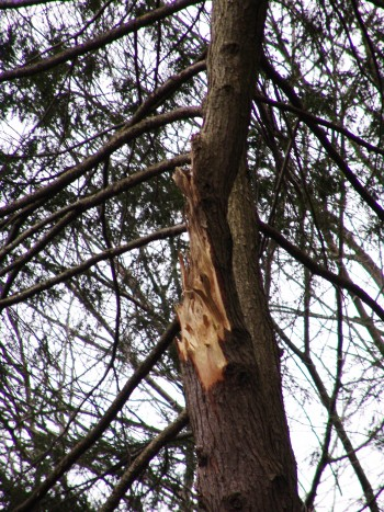 This hemlock split in high winds because of a double leader created a weak crotch in plant???? structure. photo credit: R. Robert