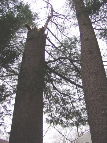 The remaining trunk of a white pine that yielded to the dry winter wind. photo credit: R. Robert