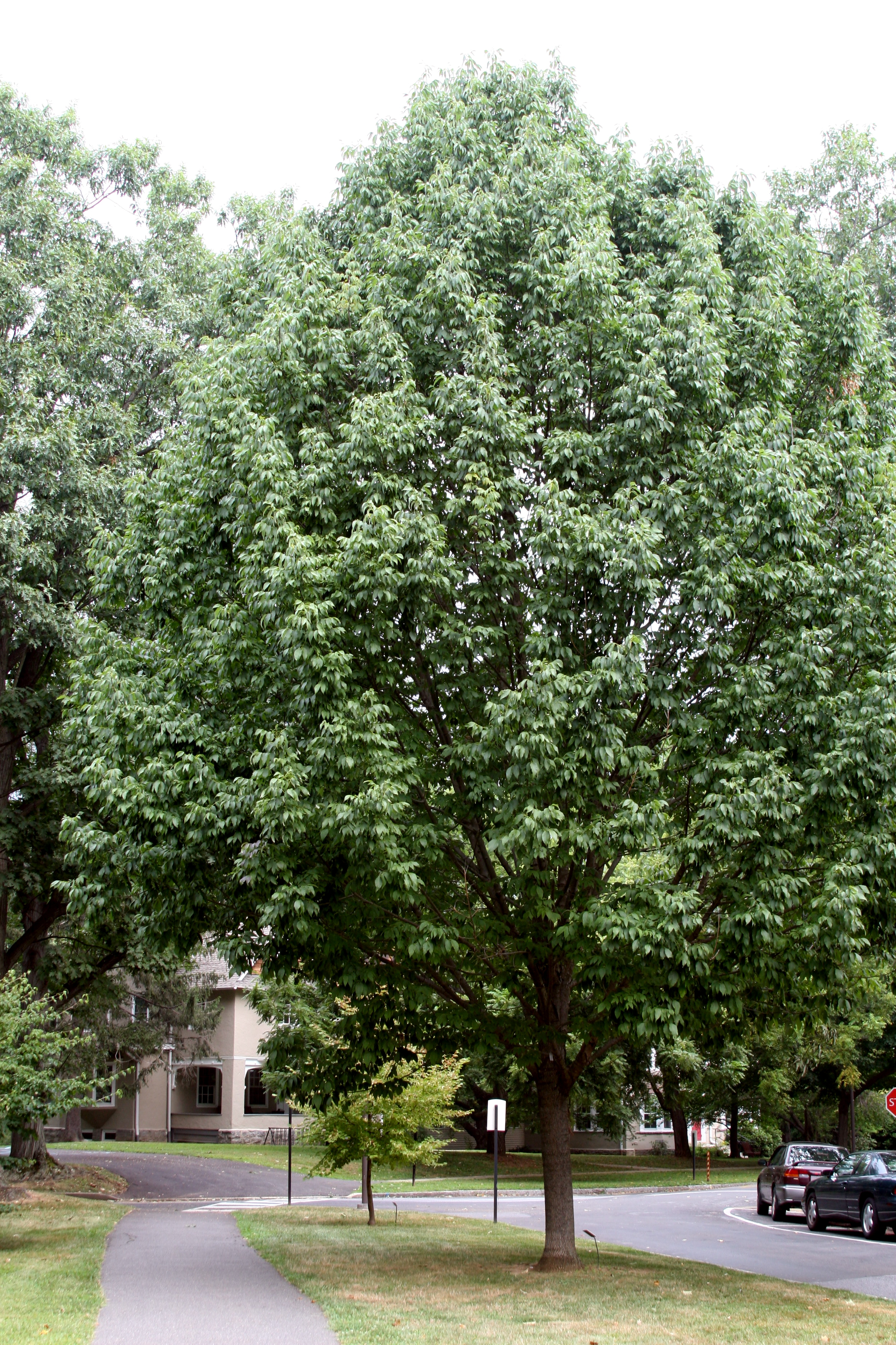 Fraxinus americana 'Greenspire' at the Scott Arboretum