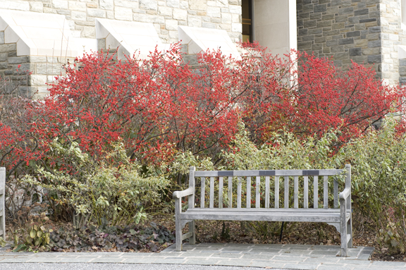 Ilex 'Sparkleberry' planting in front of McCabe Library. photo credit: R. Maurer