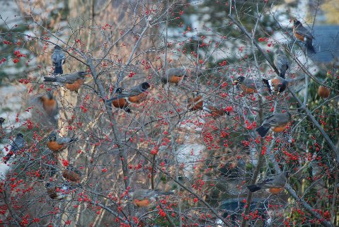 Robins on winterberry enjoying the feast of berries. photo credit: B. Jones