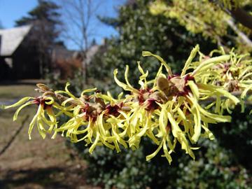 Hamamelis x intermedia'Primavera'. photo credit: J. Jenney