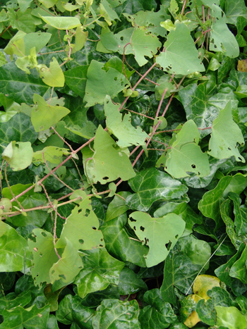 Damage to mile-a-minute vine by weevils. photo credit: R. Robert