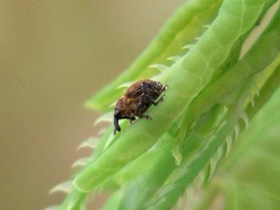 Orange weevil photo credit: E. Lake