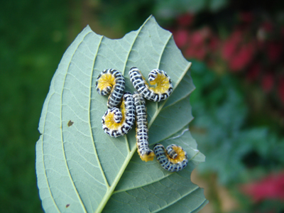 Dogwood sawfly, Macremphytus tarsatus. photo credit: W. Costello