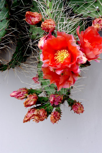 Opuntia polycantha orange flowered form photo credit: D. Mattis