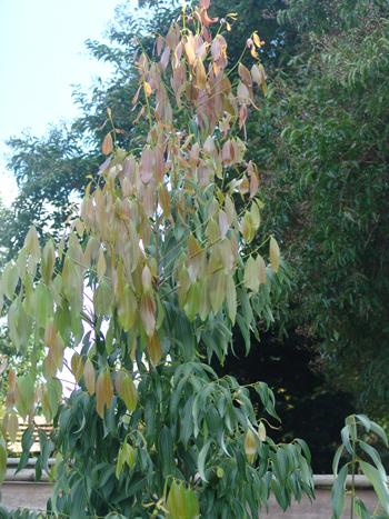 Cinnamomum chekiangensis