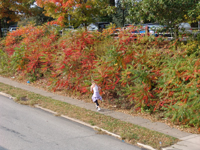 Rhus typhina along Chester Road. photo credit: S. Keitch