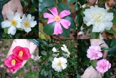 Camellia Flowers- Cresson-1