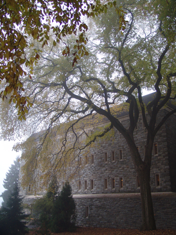 Ulmus americana on a foggy fall day. photo credit: R. Robert