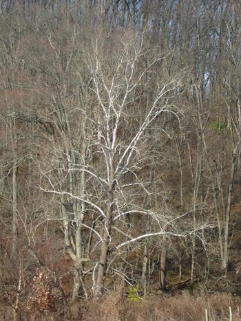 Plantanus occidentalis photo credit: A. Bunting