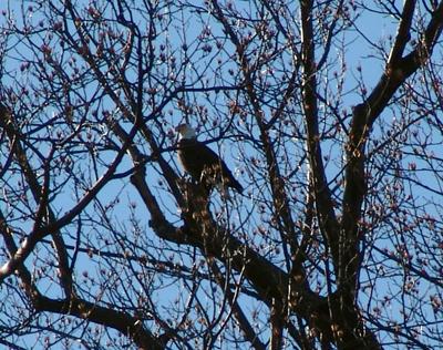 Bald Eagle at Scott Arboretum. photo credit: S. Keitch
