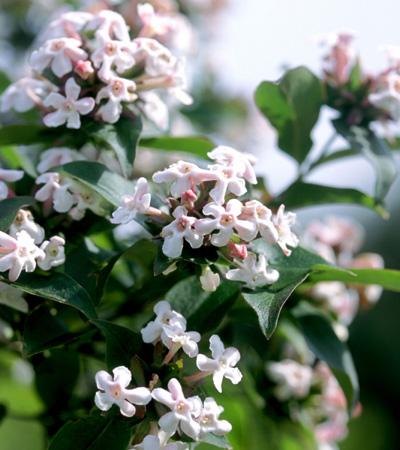 Abelia Mosanensis FL04 300dpi