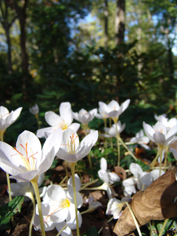 Early spring is full of crocus. photo credit: R. Maurer