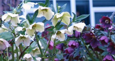 Helleborus'Royal Heritage' photo credit: R. Pineo
