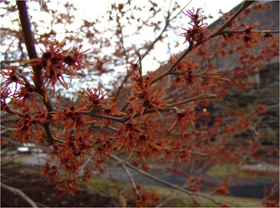 Hamamelis vernalis photo credit: R. Maurer