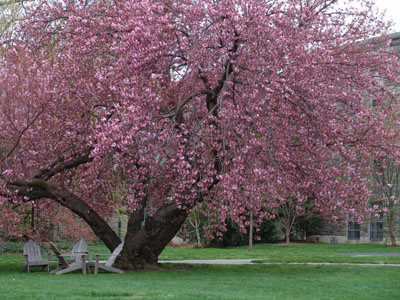 Prunus'Sekiyama' photo credit: R. Maurer