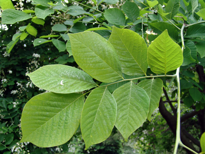 Cladrastis- Leaf