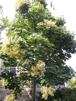 Firmiana simplex in flower