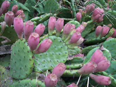 The red fruit of Opuntia humifusa. photo credit: J. Coceano