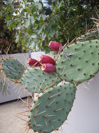 Opuntia phaeacantha fruit