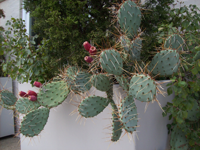 Opuntia phaeacantha in Pearson container