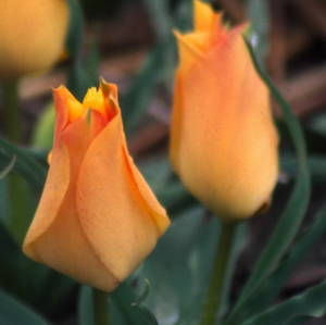 Tulipa batalinii'Bronze Charm' coutsey of Brent and Becky Bulbs