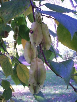 Halesia diptera var. magniflora fruit (2) JWC