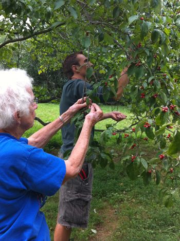 Josh and Mary collect from Cornus florida'White Cloud'