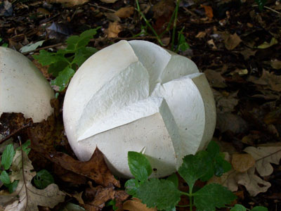 Calvatia gigantea splitting open JWC (2)