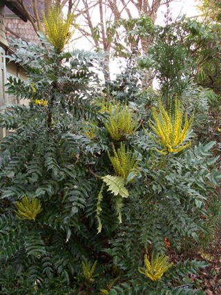 Mahonia x media 'Lionel Fortescue' (2) JWC