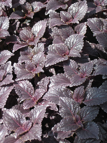 Coleus'Shiny Shoes'AB