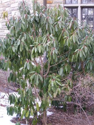 Daphniphyllum himalaense ssp. macropodum Sproul JWC