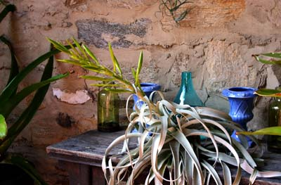 Tillandsia xerographica Photo credit: A. Bunting