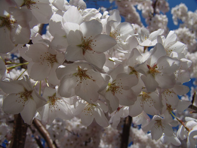 Prunus x yedoensis 'Akebono' flowers Photo credit: Scott Arboretum staff