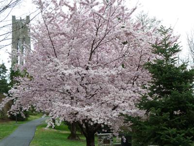 Prunus x yedoensis 'Akebono'  Photo credit: J. Coceano