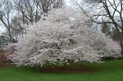 Prunus x yedoensis  Photo credit: J. Coceano