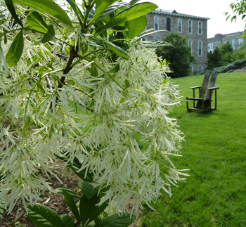 Chionanthus virginicus in bloom.  Photo credit: J. Coceano