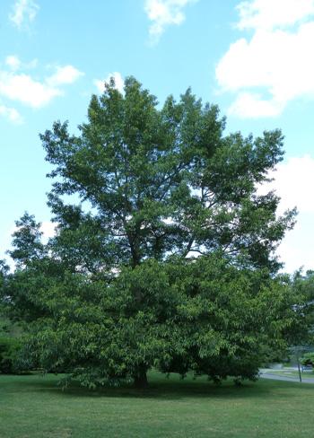 Quercus acutissima (1) JWC