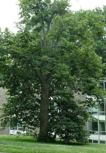 Tilia americana (1) JWC