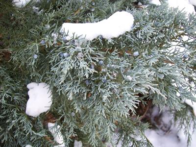 Juniperus virginiana 'Grey Owl' (3) JWC