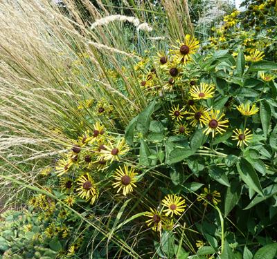 Rudbeckia subtomentosa 'Henry Eilers' and ornamental grasses (1) JWC