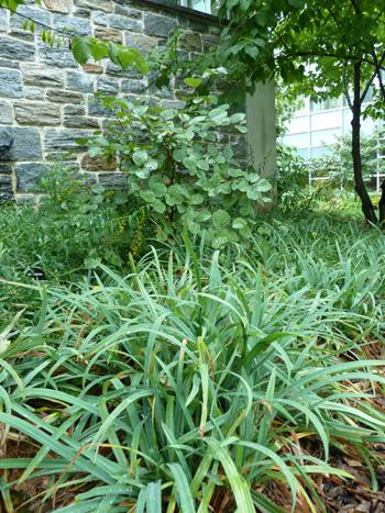 Carex laxiculumus Bunny BlueTM (2) JWC