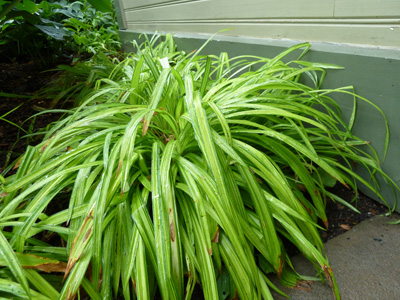 Carex siderosticha 'Banana Boat' (2) JWC