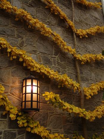 Esplanade Ginko biloba along Parrish Hall. photo credit: Scott Arboretum Archives