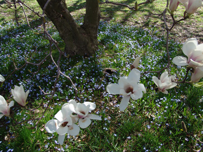 Small bulbs planted under the Magnolia Collection. photo credit: R. Maurer