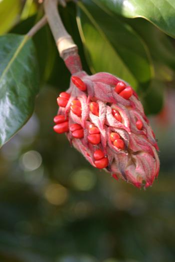 Magnolia grandiflora fruit. photo credit: D. Mattis