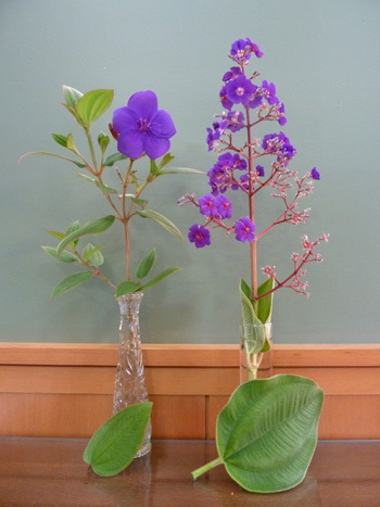 Tibouchina urvilleana (L) and T. grandifolia (R) comparison (1) JWC